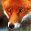 madreen_rua: (Fox face)