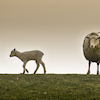 jesse_the_k: Large ewe stares at the viewer while her adolescent lamb runs away (lamb runs away from ewe)