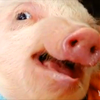 "cloud_riven: Close-up of an open-mouthed piglet! Is it recoiling? Or side-eyeing? Maybe saying, ""HEY YOU TWO SHOULD KISS""? Mystery! (pig pig PIG)"