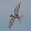 randomness: Arctic tern (Sterna paradisaea), photograph by Malene Thyssen, cropped square for userpic. (Default)