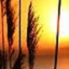 organicgold: A shaft of wheat illuminated by the setting sun. (default)