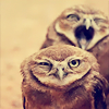 skaldadottir: Annoyed Owls (my head hurts now)