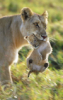 maria_shy: lion (Default)