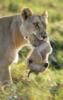 maria_shy: lion (lev)
