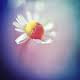 kay_mulan: (daisy)