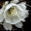 auriatetsukai: (orchid cactus)
