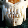 naamah_darling: The incisors and canines of the skull of a gray wolf. (Bones)