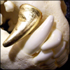 naamah_darling: The right-side canines of a wolf's skull; the upper canine is made of gold. (Neon: Free Smells)