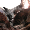 naamah_darling: A sweet-looking long-haired black cat. She is very soft. (Tazendra)