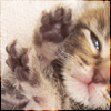 naamah_darling: A tiny week-old tabby kitten with her paws raised and her eyes half-closed. (Kittens)
