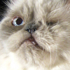 naamah_darling: A very sweet-faced one-eyed Himalayan cat with a crooked jaw. (Cats)