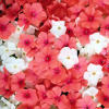 alphastarr: Several flowers in white and pink. Clustered. (generic, flowers)