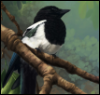 pica_pica: a magpie, perched on a branch (magpie, birds, pica pica) (Default)