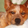 anindigomind: a headshot of a red australian cattle dog looking unimpressed (Chai)