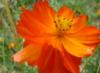 clarentine: Cosmos sulphureus (pic#1063800)