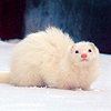 lylith_st: (Ferret- oh the cute!)