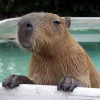 metalfatigue: A capybara looking over the edge of his swimming pool (Default)