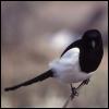 enigmaticmagpie: (Little Magpie)