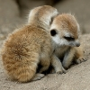 backerman: Two meerkittens being cute (merkats)
