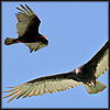 klgaffney: photo of two turkey buzzards in flight (turkey buzzards; vulture girl; freedom)