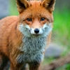 movingon: (fox)