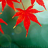 lynnenne: (life: red maple)