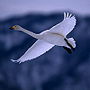 annwfyn: (mood - swan flying)