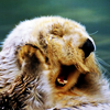 annwfyn: (mood - sleepy otter)