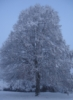sarahkbee: Tree covered in snow (tree)