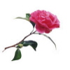 munchkin: (pink rose)