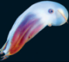 goldenkirbichu: A beautiful blue, purple and red dumbo octopus. (Default)
