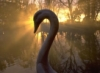 daisy_gold: (swan)