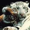black_black_heart: (tiger - reincarnations)