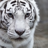 black_black_heart: (tiger - stare)