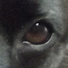 jesse_the_k: Macro photo of left eye of my mostly black border collie mutt (pin oak leaf)