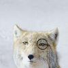 terrier: stock, fox (Stock ↠ High class douche)