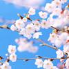 jaxadorawho: (Seasonal ☆ Spring ~ Cherry blossoms)