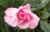 neznaiko: (роза)