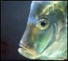 oromushka: (fish)