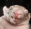 oralonatopor: (wombat)