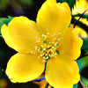 ssteplana: (yellow flower)
