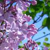 lilacblossom: (Lilacs)