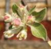 lazyberenice: (цветок яблони)