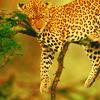 marny_h96: (leopard)