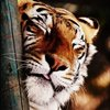 santiger: (тигр)