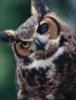 a_quantum: Owl (чгк_разное)