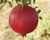 a_quantum: Pomegranate (сад)