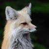 knowyouare: (fox)