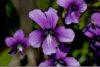 yorie: (violet)