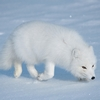 sov0k: (Polar Fox)